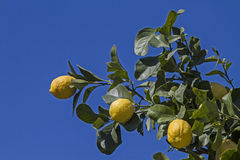 сбор винограда вала воспроизводства лимона книги ботанический Стоковое Изображение RF