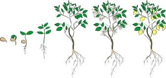 сбор винограда вала воспроизводства лимона книги ботанический бесплатная иллюстрация