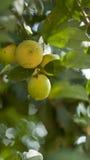 сбор винограда вала воспроизводства лимона книги ботанический Стоковое фото RF