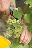 сбор винограда Стоковое Фото