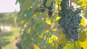 Сбор виноградины вина видеоматериал