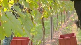 Сбор виноградины вина акции видеоматериалы