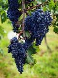 Сбор виноградины в Италии Стоковая Фотография