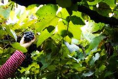 Сбор виноградины - рука женщины собирая виноградины Стоковое Изображение RF