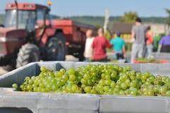 Сбор виноградины Стоковое Фото