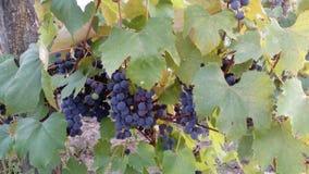 Сбор виноградины Стоковое Изображение RF