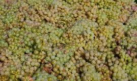 Сбор виноградины Стоковое фото RF