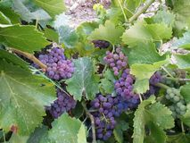Сбор виноградины Стоковая Фотография RF