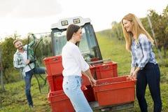 Сбор виноградины Стоковая Фотография