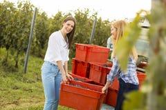 Сбор виноградины Стоковые Фото