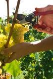 Сбор виноградины Malvasia Стоковая Фотография