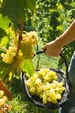 Сбор виноградины Malvasia Стоковые Изображения RF