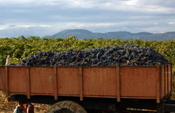 Сбор виноградин на виноградниках Стоковые Фотографии RF