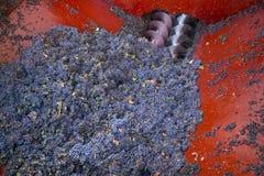 Сбор виноградин Стоковая Фотография RF
