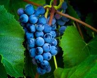 Сбор виноградин Стоковая Фотография