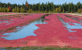 Сбор водопользования фермы клюквы Стоковое Изображение RF