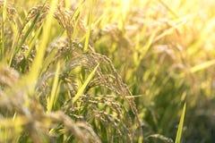 Сбор зрелого риса ждать Стоковое Фото
