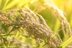 Сбор зрелого риса ждать Стоковое Изображение