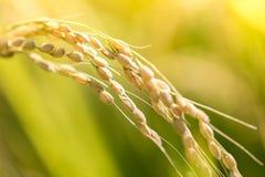 Сбор зрелого риса ждать Стоковые Изображения RF