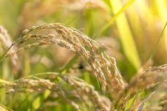 Сбор зрелого риса ждать Стоковая Фотография