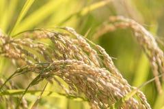 Сбор зрелого риса ждать Стоковые Изображения