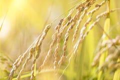 Сбор зрелого риса ждать Стоковые Фотографии RF