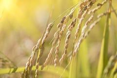 Сбор зрелого риса ждать Стоковая Фотография RF