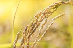 Сбор зрелого риса ждать Стоковые Фото