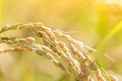 Сбор зрелого риса ждать Стоковое фото RF