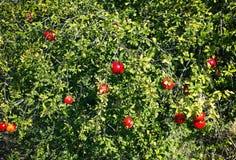Сбор зрелых гранатовых деревьев на дереве гранатового дерева Стоковые Изображения