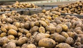 Сбор картошки Стоковое фото RF