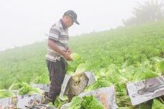 Сбор китайской капусты Стоковое фото RF