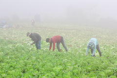 Сбор китайской капусты Стоковое Изображение RF