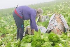 Сбор китайской капусты Стоковые Фото