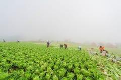 Сбор китайской капусты Стоковое Изображение