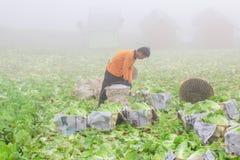 Сбор китайской капусты Стоковая Фотография