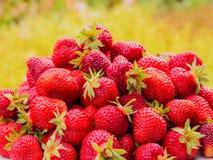 Сбор клубники Серии красных ягод Запачканная зеленая и желтая предпосылка Стоковая Фотография RF