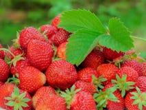 Сбор клубники Серии красных ягод листья зеленого цвета Стоковое фото RF