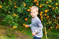 Сбор мальчика апельсина мандарина на плодоводческой ферме Стоковая Фотография RF