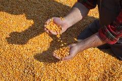 Сбор мозоли, семя фермера держа и лить, крупный план рук с семенем стоковое фото rf