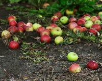 Сбор осени яблок Стоковые Фото