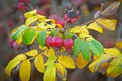 Сбор осени ягод одичалых плодов шиповника Стоковая Фотография RF