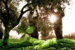 Сбор оливок Стоковое Фото