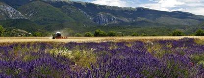 Сбор полей лаванды amoungst ячменя Стоковая Фотография RF