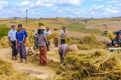 Сбор риса в полях стоковое изображение