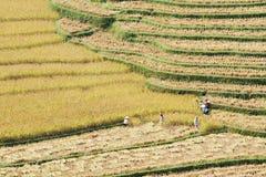 Сбор риса на террасных полях Стоковые Изображения RF