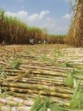 Сбор сахарного тростника Стоковые Изображения