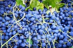 Сбор свежей органической виноградины Стоковые Изображения