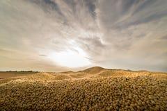 Сбор сои в заходе солнца стоковая фотография rf