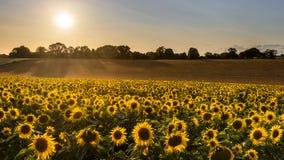Сбор солнцецвета на вечере лета Стоковое Изображение